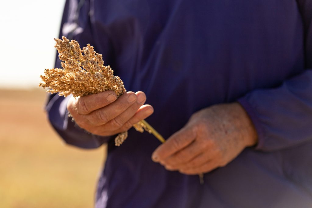 Sorghum In Hands - Credit Sorghum Checkoff